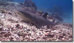 A WHite-tip Reefshark resting on the bottom. Sipadan, Borneo, Malaysia