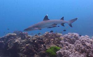 White-tip Reef Shark, Heron Island. Heron Island Resort, Australia