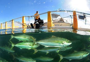 Swimming with kingfish at Whyalla, South Australia