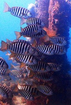 Zebrafish. Rapid Bay Jetty, South Australia