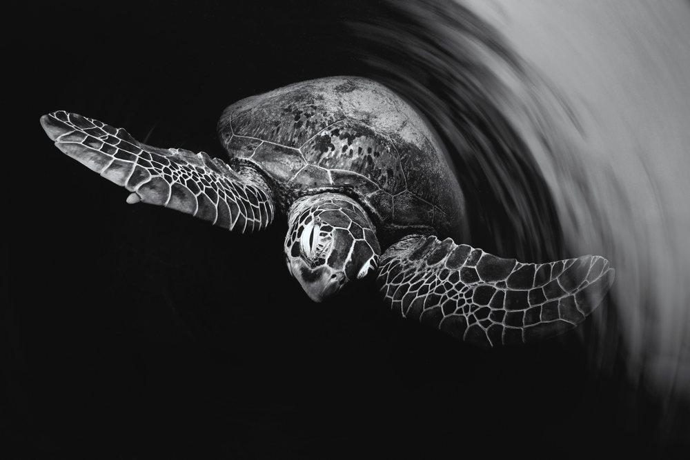 Underwater Black and White - Kristian Laine - Black and White Ghosts. Lady Elliot Island, Australia